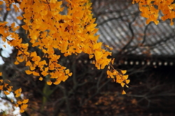 Golden yellow gingko