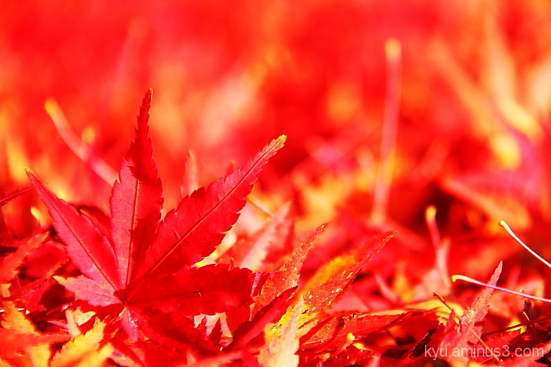 In red maple leaves