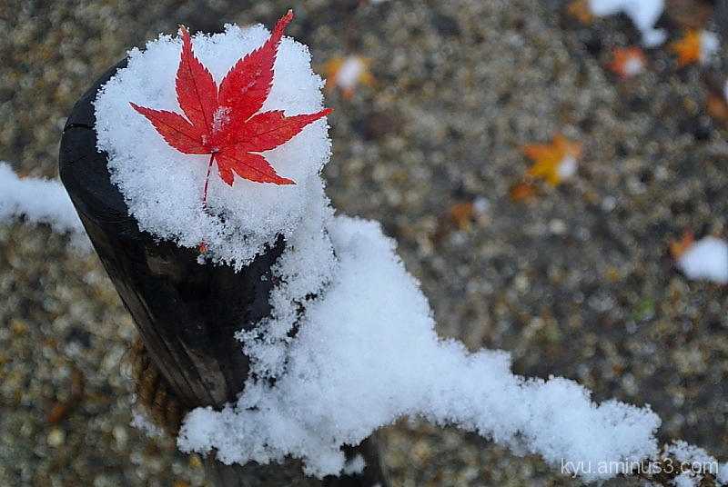 snow red-maple-leaf winter Tadasunomori Kyoto