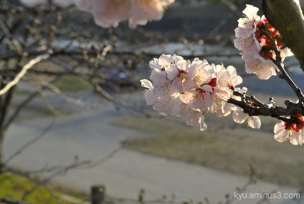 Plum blossoms by Kamogawa