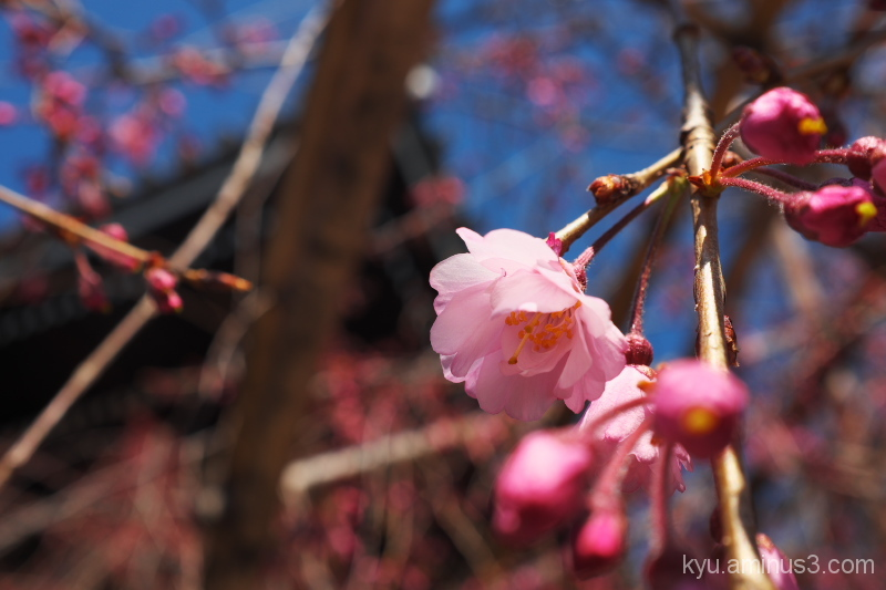 Cherry blossoms in the temple