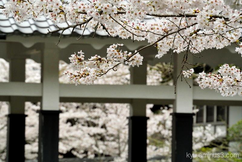 Full bloom at Nanzenji