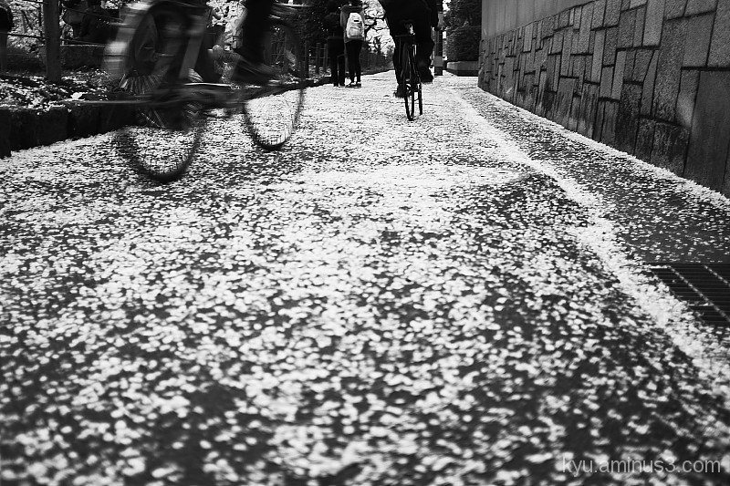 Going on the path under cherry blossoms