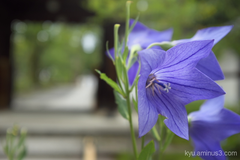 Balloon flowers by the path