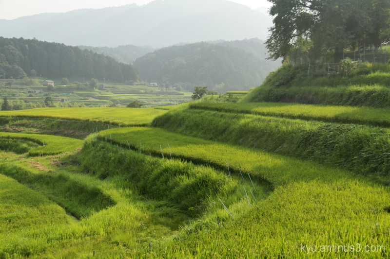 Rice paddy in August