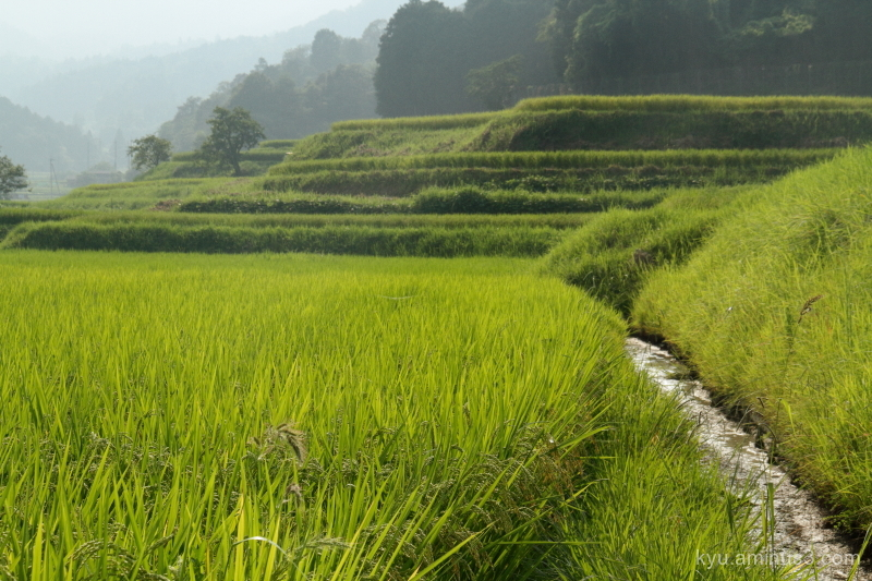 Terraced paddy before the harvest