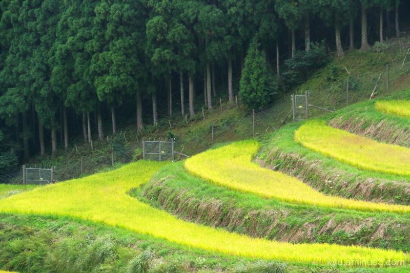 Golden yellow in paddies
