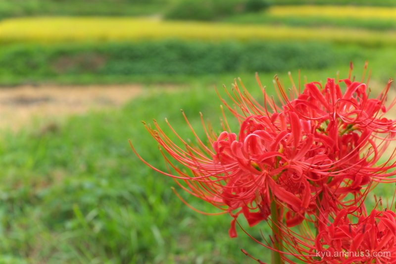 Bright red in a rice paddy