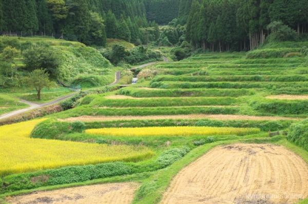Terraced rice paddies in autumn