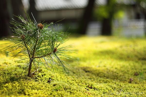 Baby pine tree