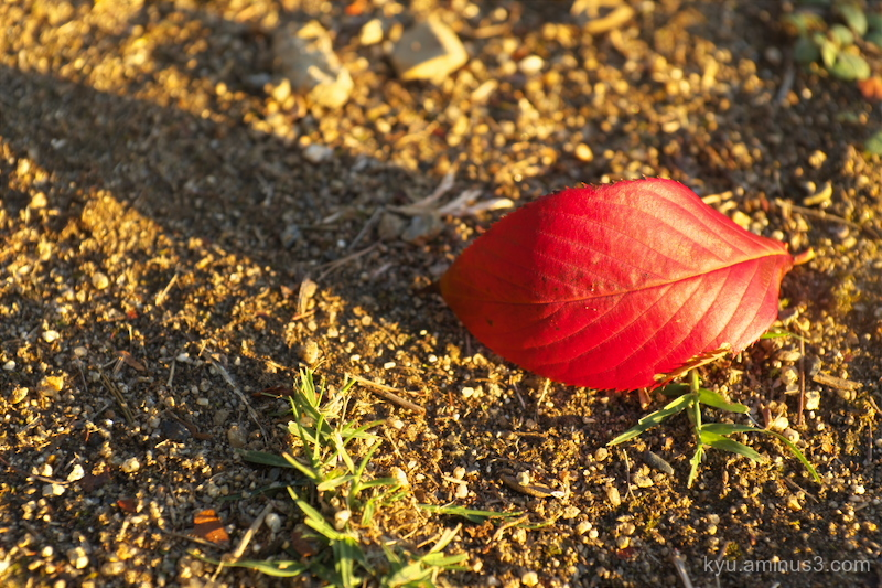 Red cherry leaf