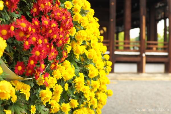 Chrysanthemum in the temple
