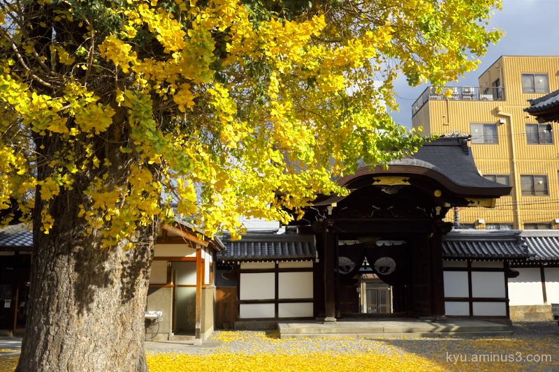 Big gingko tree in the temple