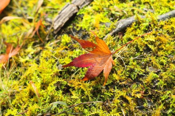 Maple leaf on the moss carpet