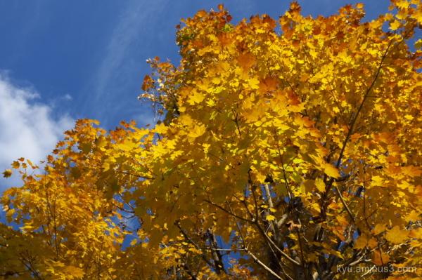 Golden-yellow maple