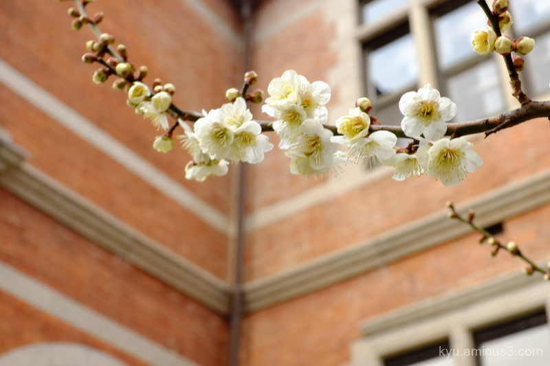 Plum blossom in a campus (1)