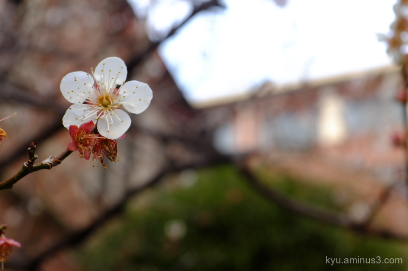 Plum blossom in a campus (2)