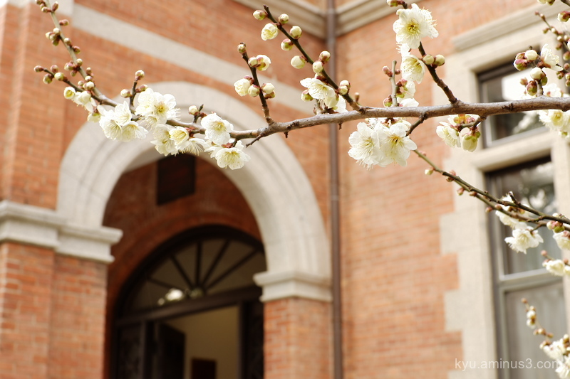 Plum blossom in a campus (3)
