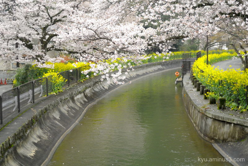 spring cherry-blossoms rape-blossoms sosui canal