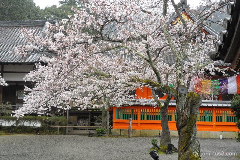 spring cherry-blossoms Bishamondo temple Kyoto