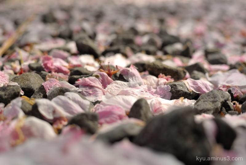 spring cherry-blossoms petals