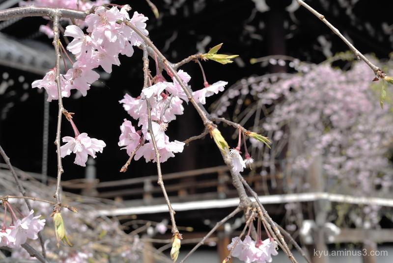 spring drooping-cherry cherry-blossoms Bukkouji te