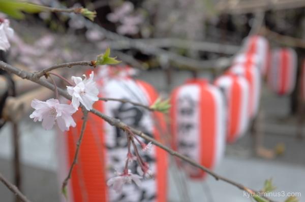 Spring festival drooping-cherry blossoms Bukkouji