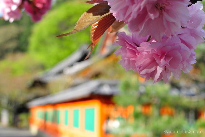 double-flowered cherry blossoms Bishamondo Kyoto