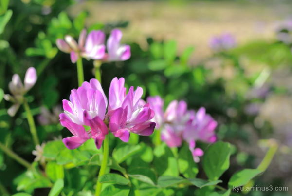 Milk vetch flowers in the temple