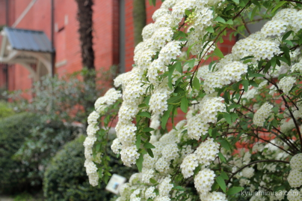 Reeves-spirea flowers campus Kyoto