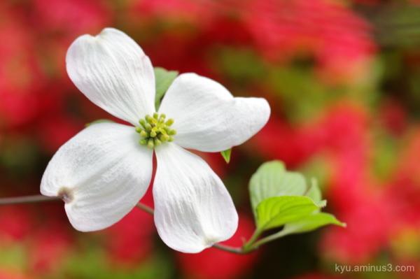 white-flower azalea Chishakuin temple Kyoto