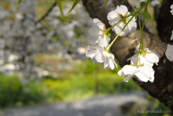 White cherry blossoms Sosui canal Kyoto