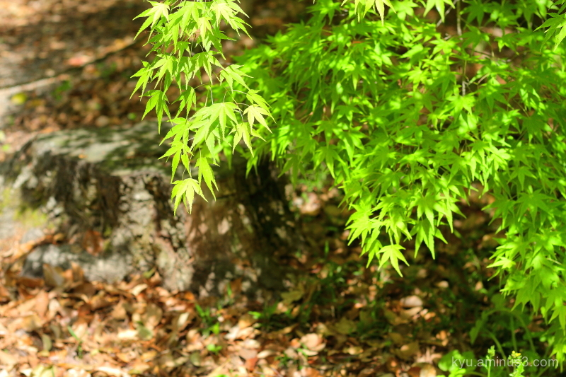 green-maple Tadasunomori Shimogamo-shrine Kyoto