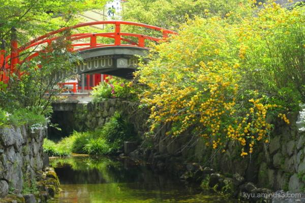 Japanese-rose Yamabuki Shimogamo-shrine Kyoto