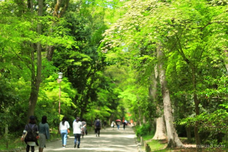 fresh-green Tadasunomori Simogamo-shrine Kyoto