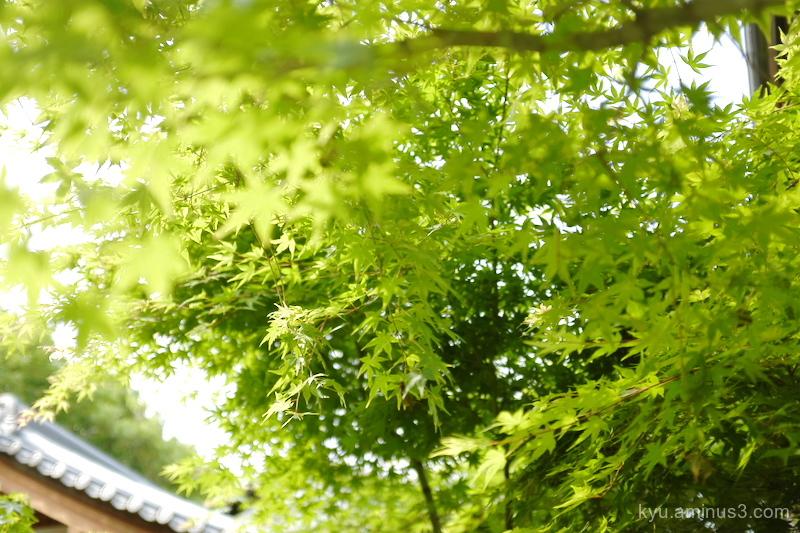 green-maple Shorinji temple Kyoto