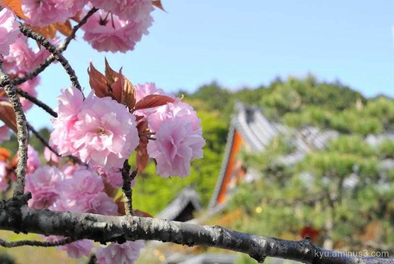 cherry-blossoms Bishamondo temple Kyoto