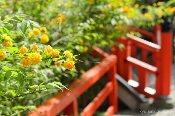 Japanese-rose Yamabuki flowers Shimogamo-shrine