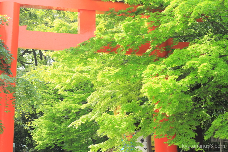green-maple Torii Shimogamo-shrine Kyoto