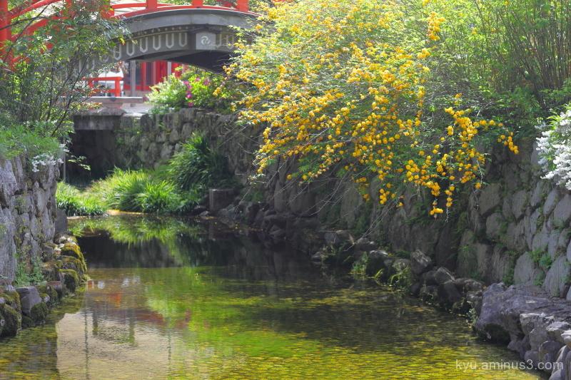 Japanese-rose Yamabuki flowers Shimogamo-shrine Ky