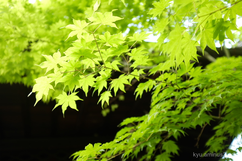 green-maple Shorinji temple Kyoto