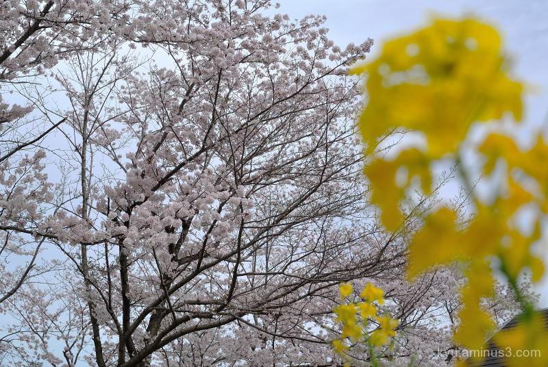 spring cherry-blossoms park Kyoto