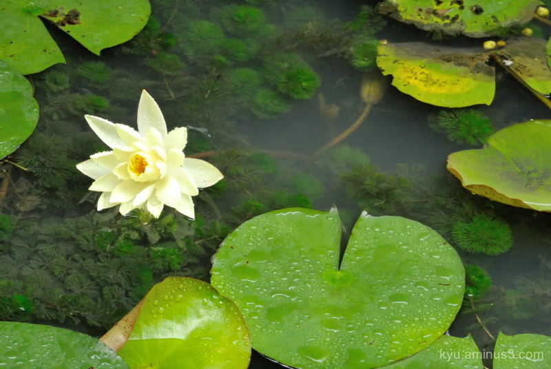 water-lily pond Raikyuji temple Takahashi Okayama