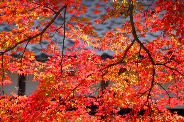 autumn red-maple Saikyouji temple Shiga