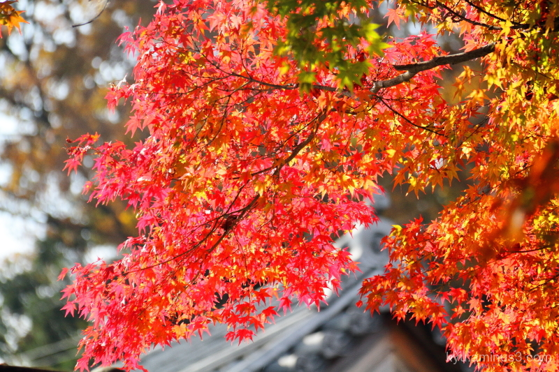 autumn red-maple Saikyouji temple