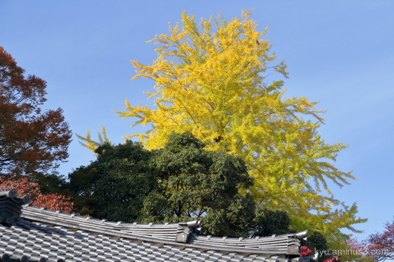 autumn gingko Saikyouji temple Shiga