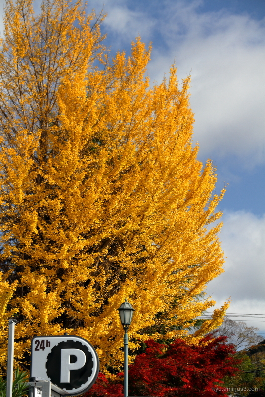 autumn ginkgo red-maple museum Kyoto