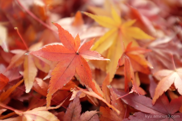 winter red-maple leaves bukkouji temple kyoto