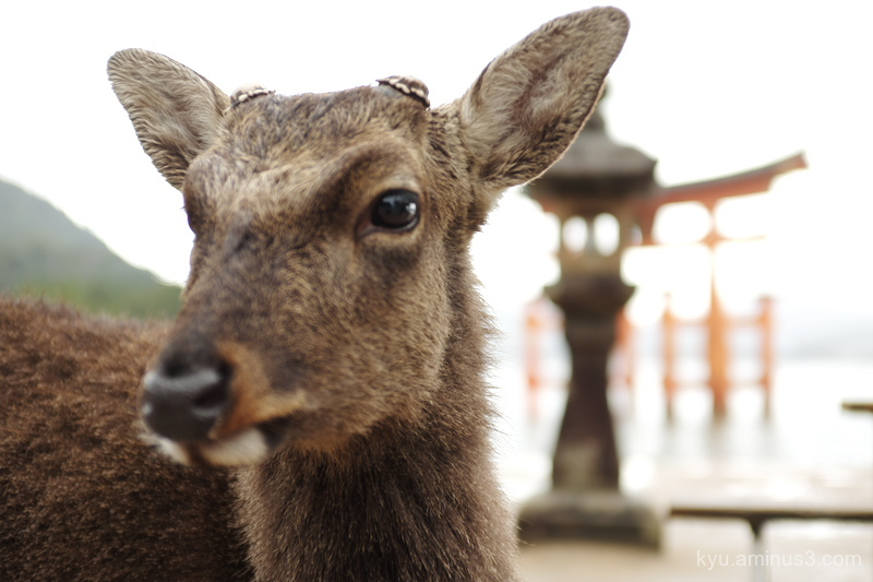 deer Itsukushima-shrine Miyajima Hiroshima X100S