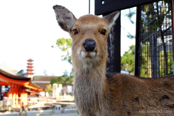 deer Itsukushima-shrine Miyajima Hiroshima